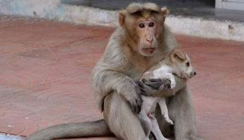 A rhesus macaque holding her adopted puppy in a New Delhi street. Credit: Dinamalar, Facebook.